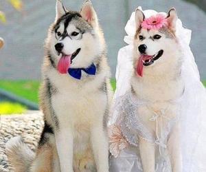 dog, wedding, and husky image