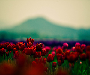 blue, mountains, and tulips image