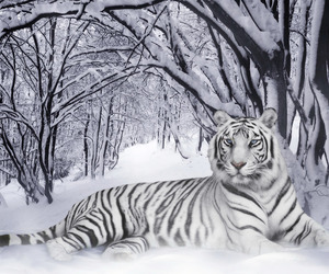 snow and snow tiger image