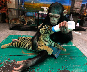 tiger, monkey, and animal image