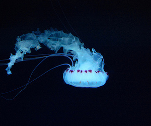 jellyfish and blue image