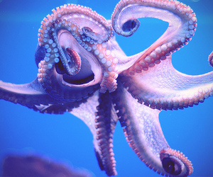 octopus, animal, and blue image