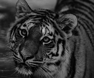 black and white, animal, and tiger image