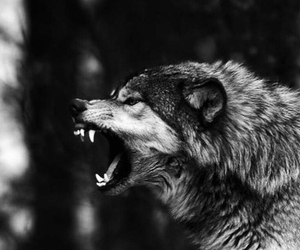 wolf, angry, and animal image