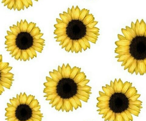 sunflowers, flowers, and background image