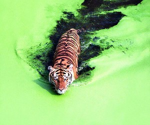 nature, water, and tiger image