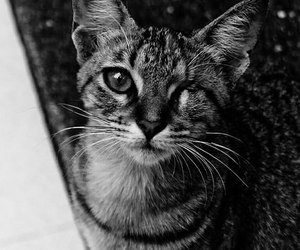 beauty, black and white, and cat image