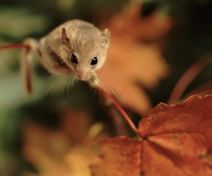 dormouse and mouse image
