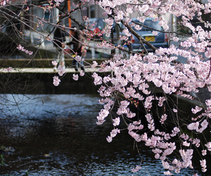 asia, japan, and cherry blosoms image