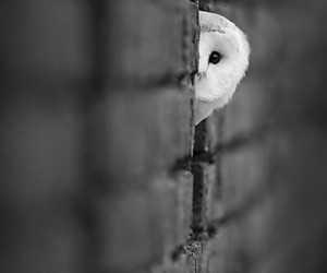 owl, black and white, and animal image
