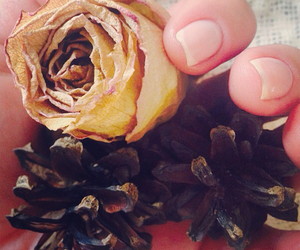 autumn, dry rose, and fir cone image