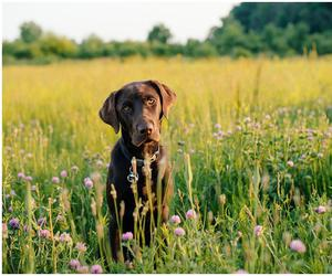 chill, chocolate lab, and dog image
