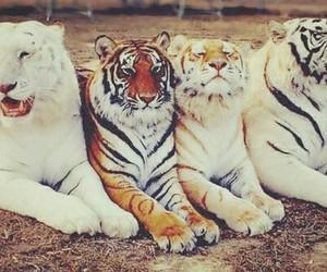 tiger, tigers, and animal image