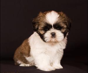 baby, puppy, and shih tzu image