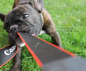 canon, dog, and french bulldog image