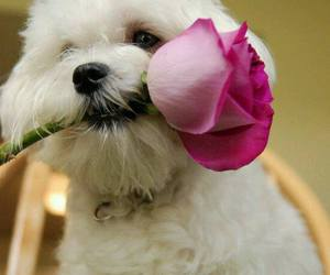 dog, puppy, and rose image