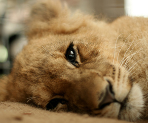 baby, lion, and new zealand image
