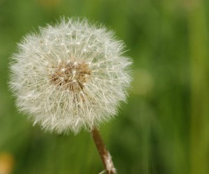 Dream, flower, and pusteblume image