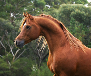 arabian horse, araber, and love image