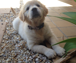cuddly, cute, and golden retriever image