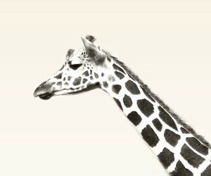 animal and giraffe image
