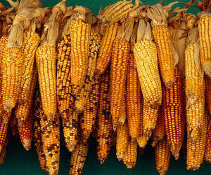 corn, food, and grill image