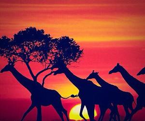 giraffe, sunset, and africa image