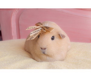 guinea pig, animal, and pink image