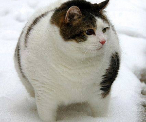 cat, fat, and snow image