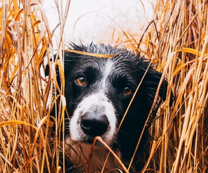 border collie, dogs, and puppies image