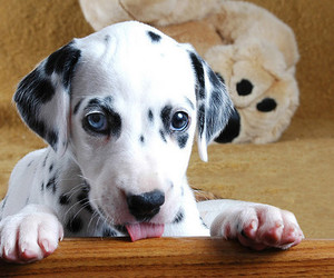 dog, animal, and dalmatian image