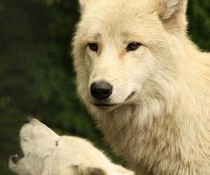 animals, wolf, and photography image