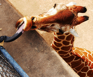 giraffe, photography, and cute image