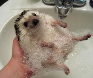 cute, hedgehog, and animal image