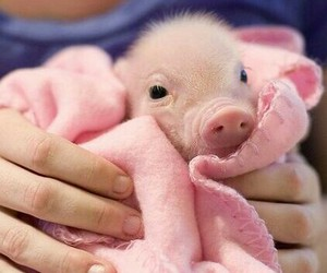 blanket, pig, and cute image