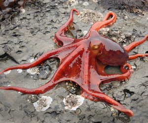 octopus, red, and animal image
