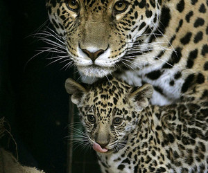 animals and jaguar image