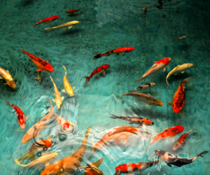 fish, water, and koi fish image