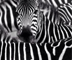 zebra, animal, and black image