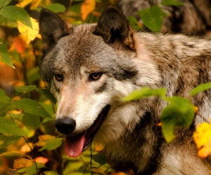 animals, fall, and wolf image