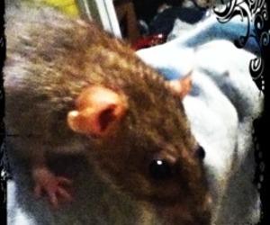 animals, cute animals, and rats image