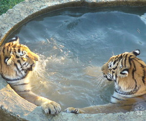 tiger and tropical image