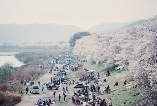 beautiful, cherry blossom, and japan image