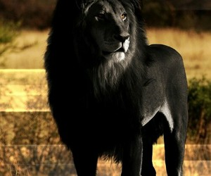black, lion, and special image