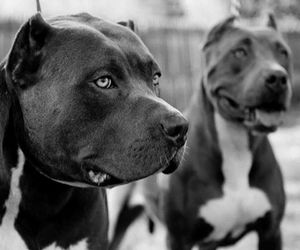 dog, pitbull, and black and white image