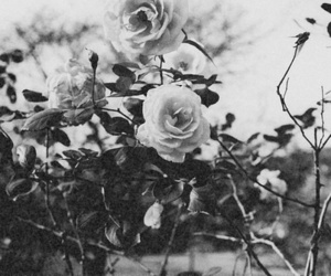 black and white, dark, and roses image