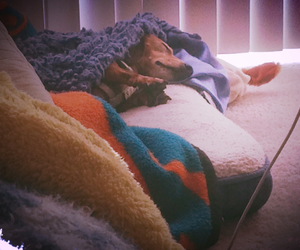 dachshund, sleeping wiener, and scoop the dog image