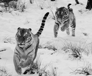 tigers, snow, and tiger image