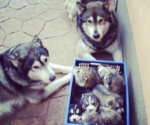 dog, puppy, and husky image