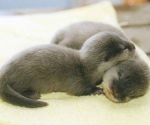 cute, animal, and otter image